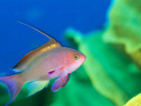 A scalefin anthias fish, Anthias squamipinnis Lámina fotográfica por Tim Laman