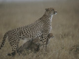 A Mother Cheetah Shelters Her Cubs from Rain Photographic Print by Roy Toft