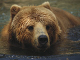 A Close View of a Captive Kodiak Bear Swimming Impressão fotográfica por Tim Laman