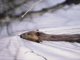 Beaver Swimming in the Sheenjek River Photographic Print by George F. Mobley