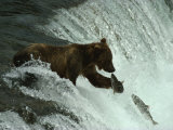 A Grizzly Bear Fishes in the Middle of a Waterfall Photographic Print by Paul Nicklen