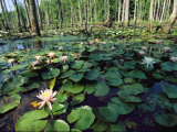 Fragrant Water Lilies Cover a Virginia Swamp Photographic Print