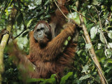 An Adult Male Orangutan in His Perch on a Rain Forest Tree Photographic Print by Tim Laman