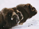 Close View of Three Musk-Oxen Standing in the Snow Photographic Print by George F. Mobley
