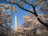 Japanese Cherry Blossoms Frame a View of the Washington Monument Photographic Print