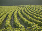 Soybean Crop Ready to Harvest in the Late Afternoon Sun Photographic Print by Brian Gordon Green