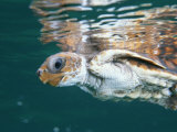 A Juvenile Endangered Loggerhead Turtle Swims at the Waters Surface Photographic Print by Brian J. Skerry