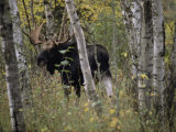 A Moose (Alces Alces Americana) with an Impressive Set of Antlers Photographic Print by Annie Griffiths Belt