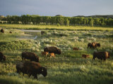 Bison (Bison Bison) Graze on Grasslands in the Park Photographic Print by Michael Melford