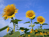 A Close View of the Sun-Like Faces of Sunflower Heads Photographic Print by Medford Taylor