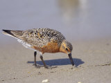 Red Knot Sandpiper Eating Horseshoe Crab Eggs Photographic Print by Steve Winter