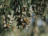 A Group of Monarch Butterflies Cluster Together to Over-Winter Fotoprint van Rich Reid