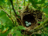 Bird Nest with Eggs Photographic Print by James P. Blair