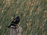 A Red-Winged Blackbird Sits on a Post Amid Tall Grasses Reproduction photographique par Bates Littlehales