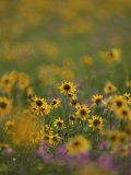 A Close View of a Meadow Filled with Blooming Wildflowers Photographic Print by Raymond Gehman