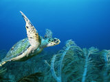An Endangered Hawksbill Turtle, Eretmochelys Imbricata, Swims in a Blue Sea Fotografie-Druck von Brian J. Skerry
