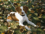 Portrait of a Brittany Spaniel Puppy Photographic Print by Paul Damien