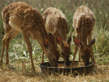 Three White-Tailed Deer Fawns (Odocoileus Virginianus) Eat from a Bowl of Grain Photographic Print by Raymond Gehman