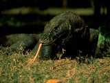 Komodo Dragon Photographic Print by Tim Laman