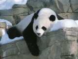 A Panda Rests in the Snow at the National Zoo in Washington, Dc Stampa fotografica di Kennedy, Taylor S.