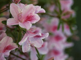 A Close View of Pink Azalea Blossoms Photographic Print by Raymond Gehman
