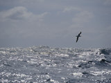 Albatross in Flight over Sunlit Ocean Fotografie-Druck von Jason Edwards