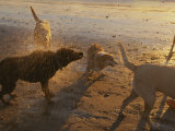 Water Drops Fly as Dogs Shake Themselves on a Beach Photographic Print by Stacy Gold