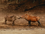 A Male and Female Warthog Rub Noses Fotografisk tryk af Nicole Duplaix