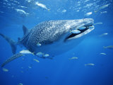 Small Fish Swim Along with a Whale Shark, Rhincodon Typus Fotografie-Druck von Brian J. Skerry