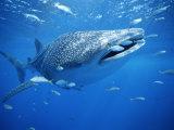 Small Fish Swim Along with a Whale Shark, Rhincodon Typus 写真プリント : ブライアン J. スケリー