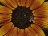 Close View of a Bee on a Sunflower Photographic Print by Jason Edwards