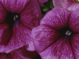 A Close View of a New Variety of Pink Petunias Photographic Print by Jonathan Blair