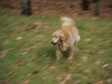 A Dog Plays Catch in the Backyard Photographic Print by Stacy Gold