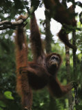 Orangutans Marissa and Her Juvenile Misha Hang from a Tree Photographic Print by Tim Laman