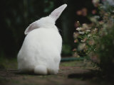 Rear View of White Rabbit in Garden Photographic Print by Jason Edwards
