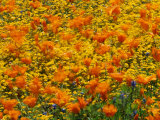 California Poppies and Goldfields Dance in the Wind after a Rainfall Photographic Print by Jonathan Blair
