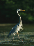 Great Blue Heron on Floridas Gulf Coast Photographic Print by Klaus Nigge