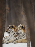 Two Siberian Tigers at Rest Photographic Print by Dr. Maurice G. Hornocker