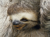 Close Portrait of a Three Toed Sloth Photographic Print by Darlyne A. Murawski