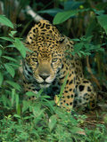 A Jaguar Crouches in the Forest Photographic Print by Steve Winter