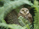 A Portrait of a Captive Burrowing Owl Seen Through the Trees Photographic Print by Norbert Rosing