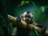 A Capuchin Monkey, Orphaned after Poachers Killed its Mother, Sits in a Tree Stampa fotografica di Sartore, Joel