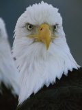 A Portrait of an American Bald Eagle Photographic Print by Klaus Nigge