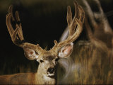 A Buck with His Antlers in Velvet Photographic Print by Dr. Maurice G. Hornocker