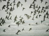 A Flock of Birds in Flight Photographie par Jodi Cobb