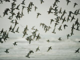A Flock of Birds in Flight Photographic Print by Jodi Cobb