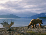 A Grizzly Ambles Past the Weathered Antlers of a Moose on the Shores of Naknek Lake Photographic Print by Joel Sartore