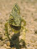 Close View of a Flap-Necked Chameleon Fotografie-Druck von Jason Edwards