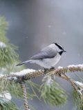 A Mountain Chickadee Weathers a Winter Snowstorm in a Pinetree Fotografiskt tryck av Michael S. Quinton