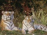 A Portrait of Two Captive Siberian Tigers Reprodukcja zdjęcia autor Dr. Maurice G. Hornocker